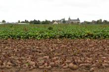 A beetroot field before and after the leaves were plucked