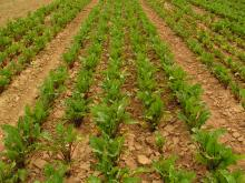 The space between rows is hoed in order to control the weeds