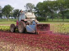 The beetroot leaves are plucked prior to harvest
