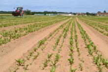 La betterave rouge est semée en planche de 1,6 m de largeur. La technique est particulièrement bien adaptée aux sols sableux du Val de Loire