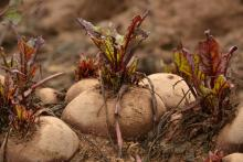 Beetroots in the soil prior to harvest