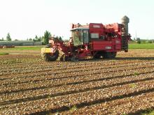 Harvesting the beets using a combine