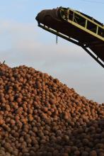 Après récolte, les betteraves sont livrées directement chez le cuiseur, ou bien stockées