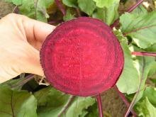 The beets must be round, without their tops and a bright red colour